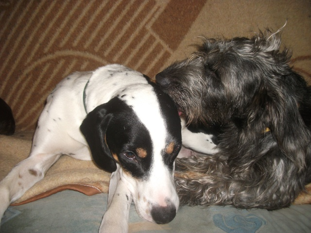 Gazou - croisé blanc, noir et marron - né le 01/01/2011 (Adopté dans le 59) Dscf4216