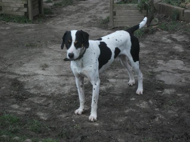 Gazou - croisé blanc, noir et marron - né le 01/01/2011 (Adopté dans le 59) Dscf4413