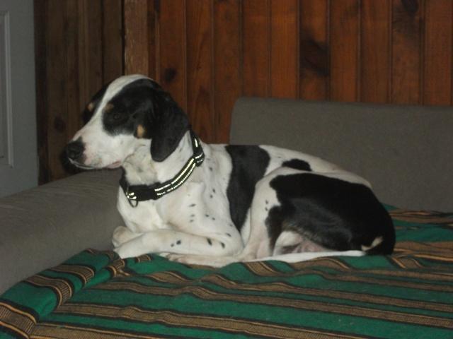 Gazou - croisé blanc, noir et marron - né le 01/01/2011 (Adopté dans le 59) Dscf4519
