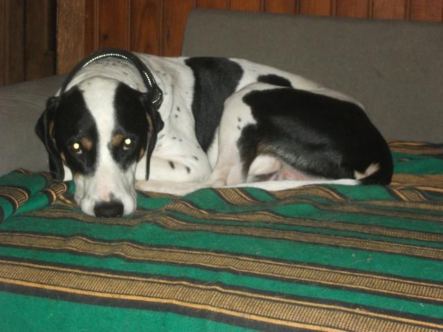 Gazou - croisé blanc, noir et marron - né le 01/01/2011 (Adopté dans le 59) Dscf4520