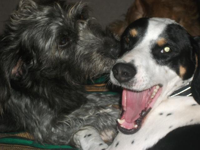 Gazou - croisé blanc, noir et marron - né le 01/01/2011 (Adopté dans le 59) Dscf4521