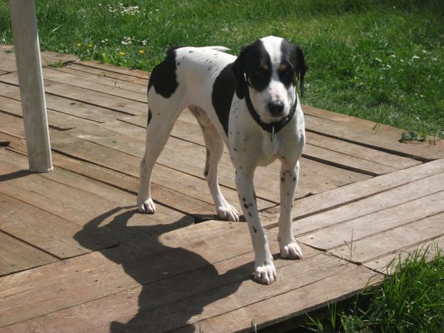 Gazou - croisé blanc, noir et marron - né le 01/01/2011 (Adopté dans le 59) Dscf4526