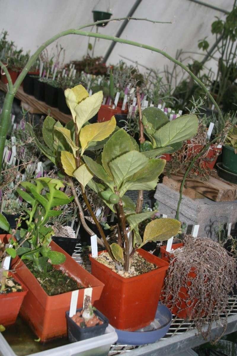 Braunwurzgewächse (Scrophulariaceae) Derm110