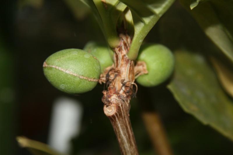 Braunwurzgewächse (Scrophulariaceae) Derm310