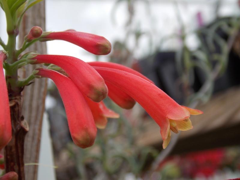 Braunwurzgewächse (Scrophulariaceae) Dermat10