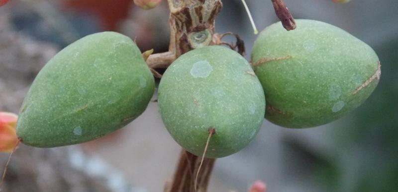 Braunwurzgewächse (Scrophulariaceae) Dermat13