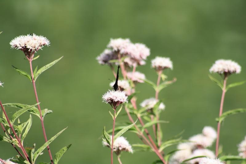 Le PAON du JOUR (Inachis io) ! (Lépidoptère Nymphalidae) 02092010