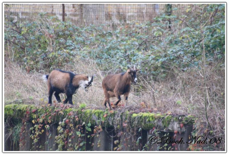 Les chèvres, les biques, les moutons. Cadre152