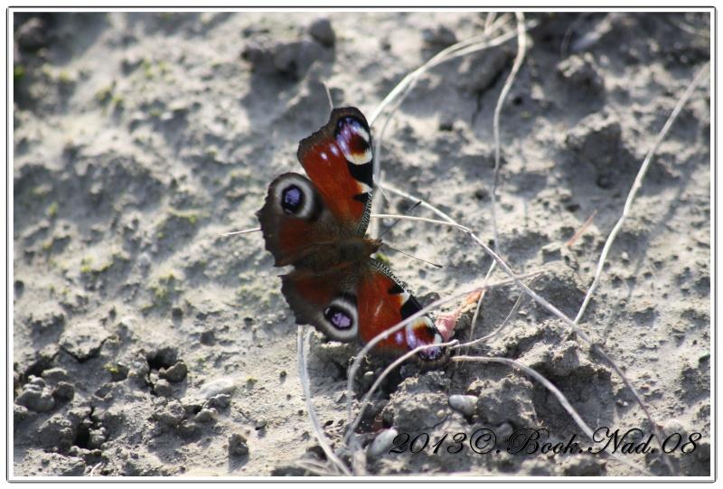 Le PAON du JOUR (Inachis io) ! (Lépidoptère Nymphalidae) Cadre359