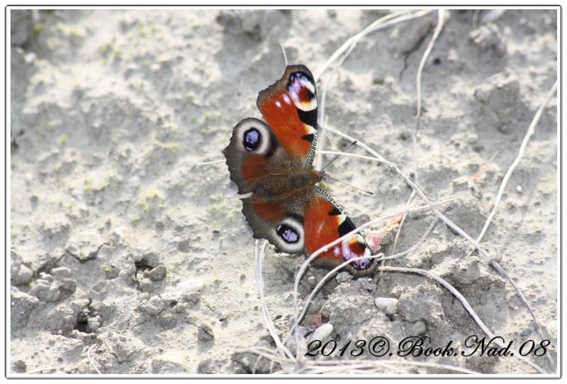 Le PAON du JOUR (Inachis io) ! (Lépidoptère Nymphalidae) Cadre360