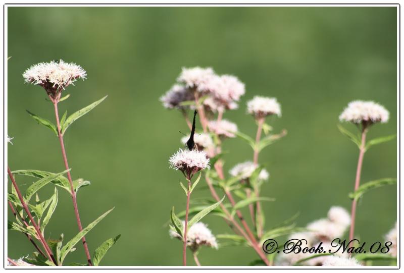 Le PAON du JOUR (Inachis io) ! (Lépidoptère Nymphalidae) Cadre361