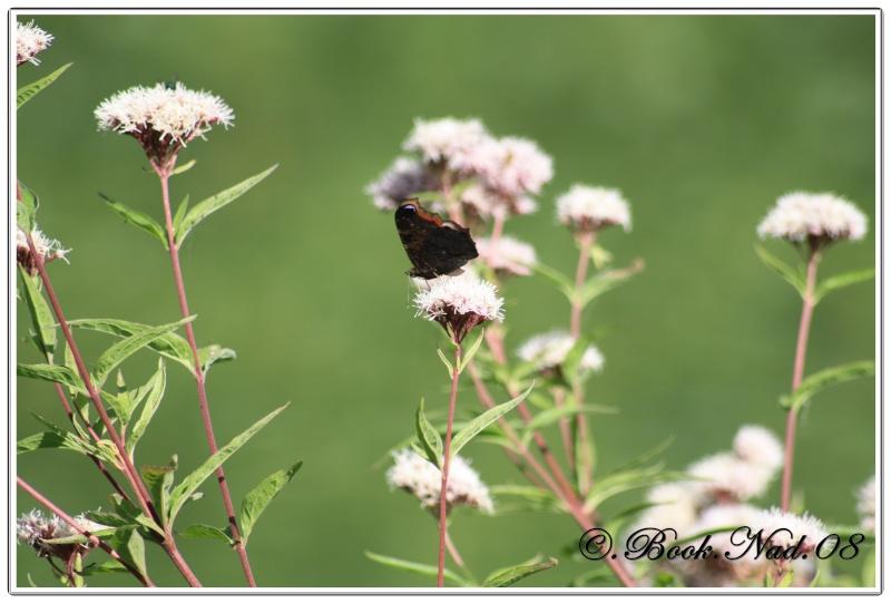 Le PAON du JOUR (Inachis io) ! (Lépidoptère Nymphalidae) Cadre362