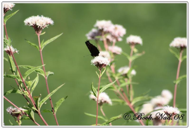 Le PAON du JOUR (Inachis io) ! (Lépidoptère Nymphalidae) Cadre363