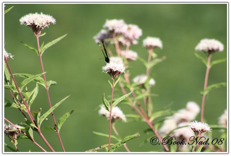 Le PAON du JOUR (Inachis io) ! (Lépidoptère Nymphalidae) Cadre364