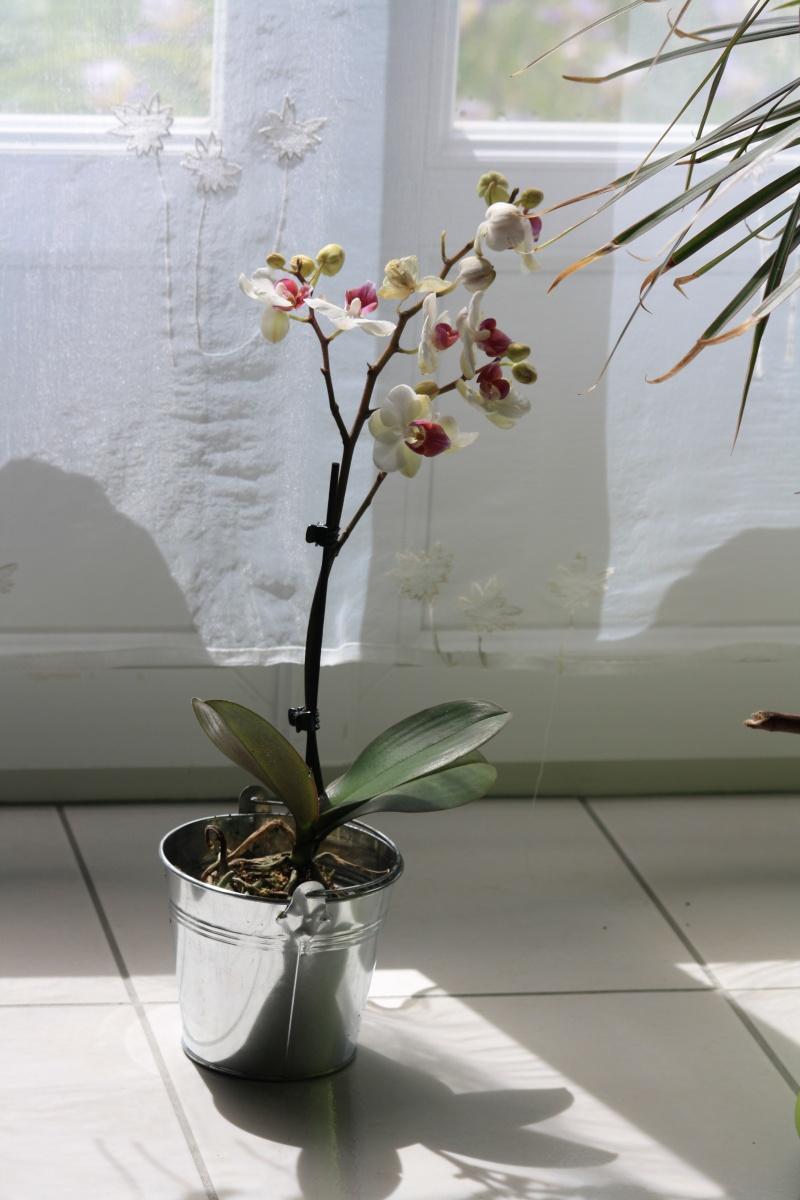 Les Orchidées - Page 5 Img_5912