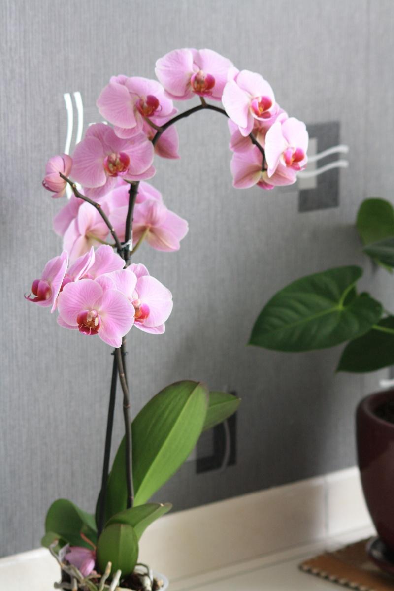Les Orchidées - Page 5 Img_5913