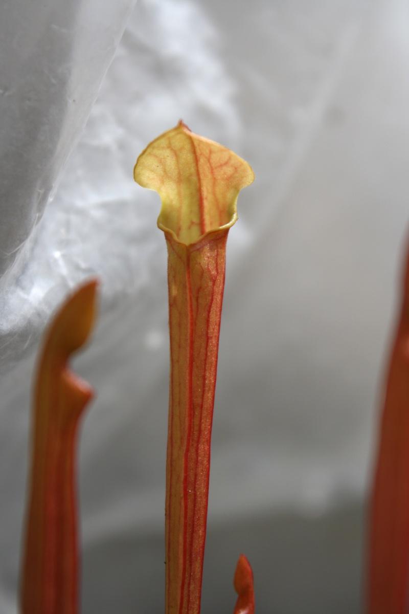 Suivi semis sarracenia Img_0051