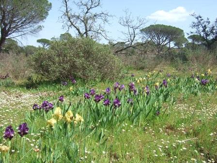 Iris lutescens - iris des garrigues, iris jaunâtre Dscf0011