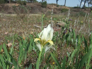 Iris lutescens - iris des garrigues, iris jaunâtre Dscf0018