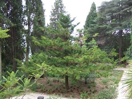 Araucaria araucana - désespoir du singe Dscf0110
