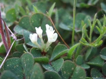 Trifolium subterraneum - trèfle enterré Dscf0115