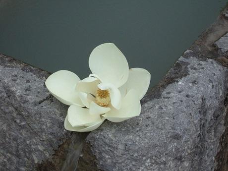 Magnolia grandiflora Dscf0210