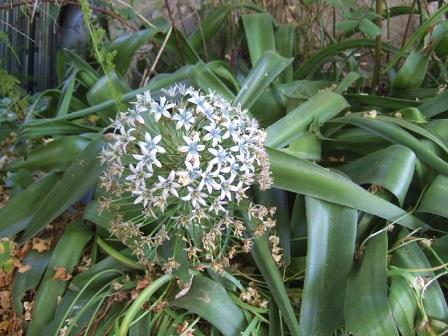 Oncostema peruviana (= Scilla peruviana) - scille du Pérou Dscf0434