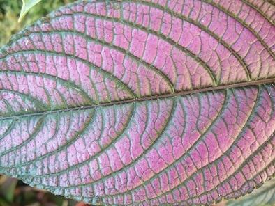 Strobilanthes dyeranus Dscf0510