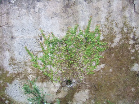 Ficus pumila - Page 2 Dscf0523