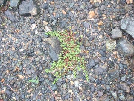 Herniaria glabra - herniaire glabre Dscf0524