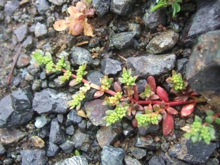 Herniaria glabra - herniaire glabre Dscf0525