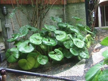 Farfugium japonicum (= Ligularia kaempferi) - Page 3 Dscf0614