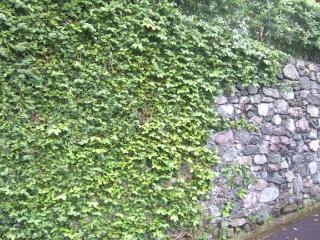 Ficus pumila - Page 2 Dscf0616