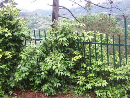 Ficus pumila - Page 2 Dscf0618