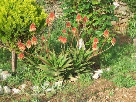 Aloe - identifications [verrouillé] - Page 5 Dscf1010