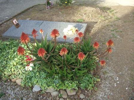 Aloe x delaetii Dscf1013