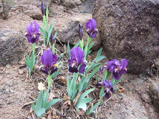 Iris lutescens - iris des garrigues, iris jaunâtre Dscf1111