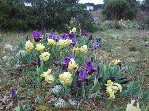 Iris lutescens - iris des garrigues, iris jaunâtre Dscf1113
