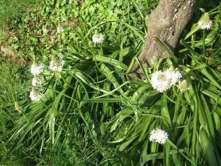 Oncostema peruviana (= Scilla peruviana) - scille du Pérou Dscf1120