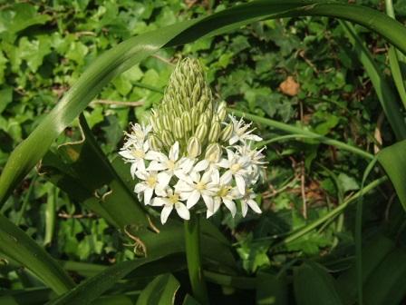 Oncostema peruviana (= Scilla peruviana) - scille du Pérou Dscf1122