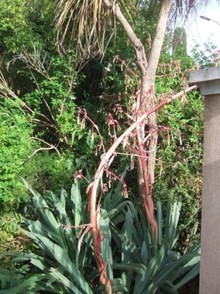 Beschorneria yuccoides Dscf1220