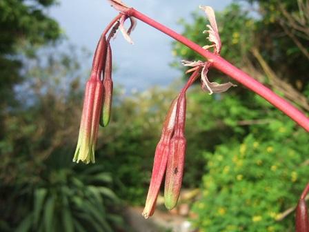 Beschorneria yuccoides Dscf1222
