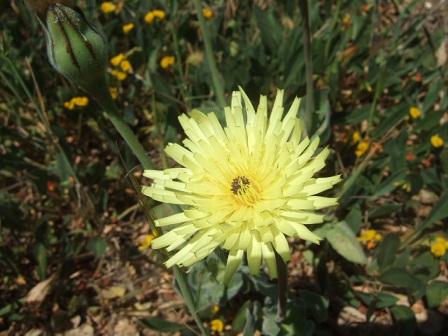 Urospermum dalechampii - urosperme de Daléchamps Dscf1229