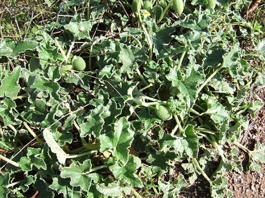 Ecballium elaterium - concombre d'âne, concombre sauteur Dscf1510