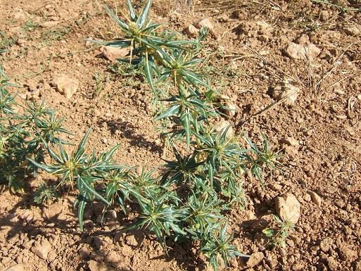 Xanthium spinosum - lampourde épineuse Dscf1610