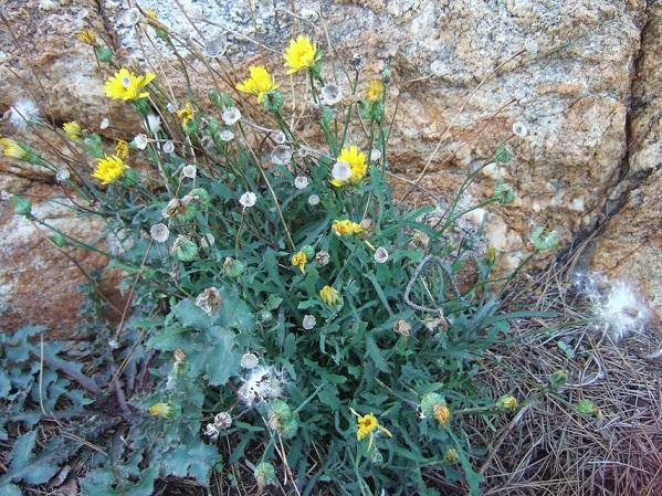 Reichardia picroides - cousteline, reichardie faux picris Dscf1810