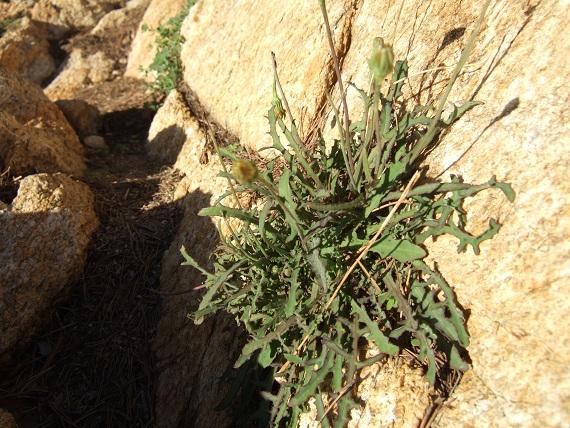Reichardia picroides - cousteline, reichardie faux picris Dscf1814