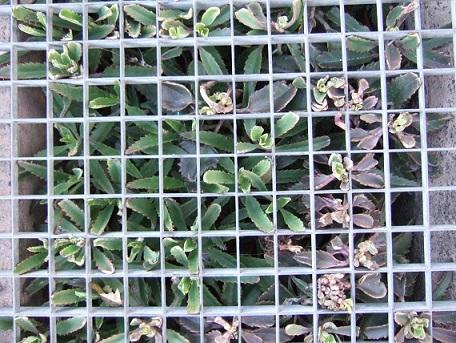 Bryophyllum daigremontiana (= Kalanchoe daigremontiana) Dscf2011