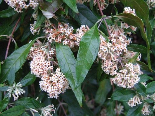 buddleia - Buddleja auriculata Dscf2212