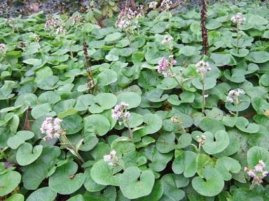 Petasites pyrenaicus (= Petasites fragrans) - héliotrope d'hiver Dscf2310